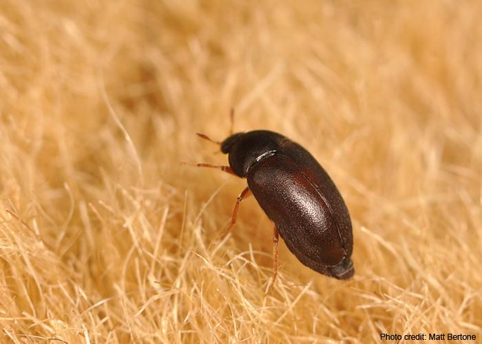 Black Carpet Beetles Vs Bed Bugs Vidalondon