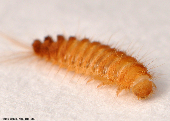 Carpet Beetle Larvae. Learn more about your arthropods    Rob Dunn Lab