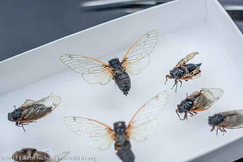 Cicada pinned collection