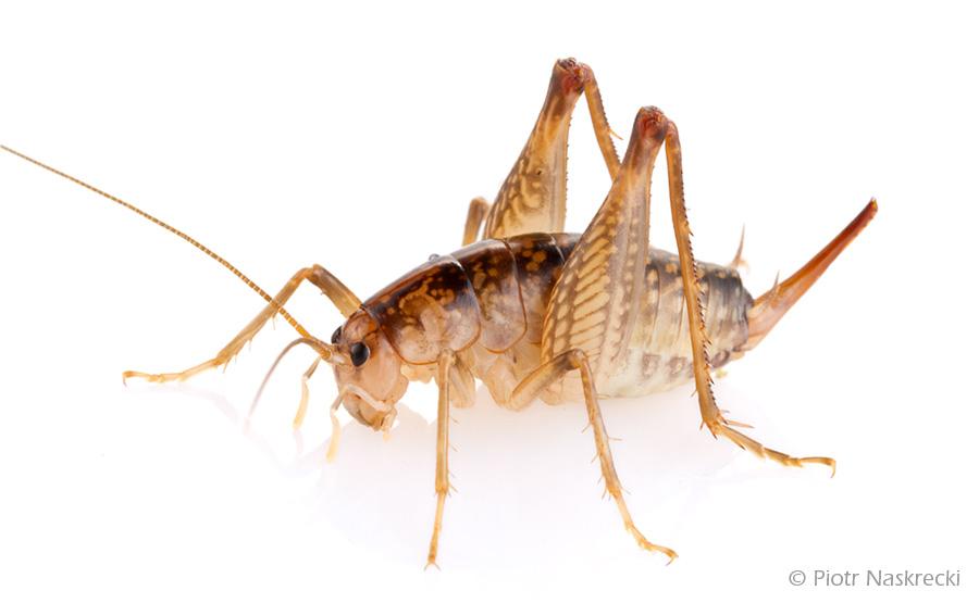 Ceuthophilus