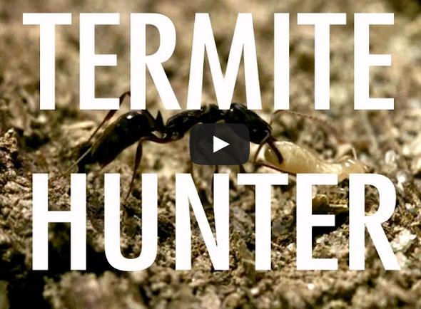 Termite Hunter